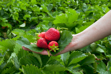 Strawberrys on leaf in the hand