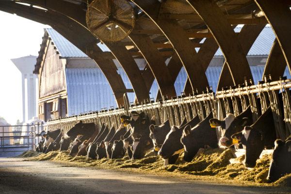 La ferme de Viltain à Jouy-en-Josas (78). Production laitière et vente directe. Vâches sous stabulation.