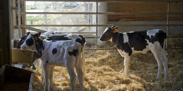 La ferme de Viltain à Jouy-en-Josas (78). Production laitière et vente directe. Veaux sous l'étable.