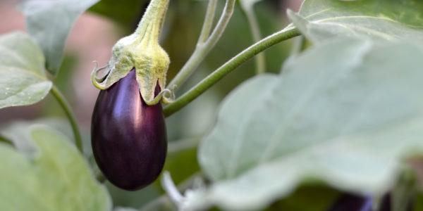 Eggplant in the garden